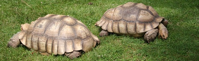 Tortoises are slow animals.